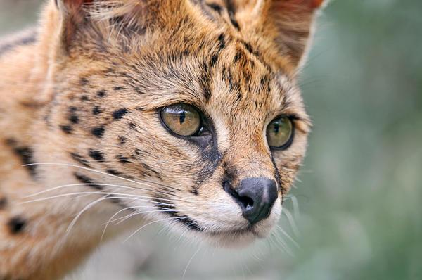 Сервал - порода кошек