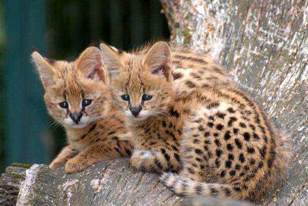 Фото Сервал - порода кошек